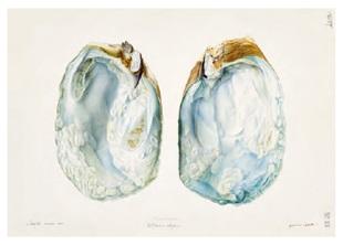 犊皮纸博物画收藏:艺术与科学的交融